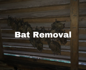 bat removal in Raleigh