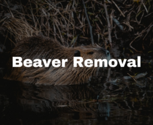 beaver removal in Raleigh