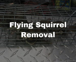 flying squirrel removal in Raleigh
