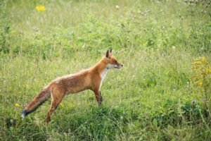 fox control and trapping