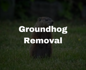 groundhog removal services in NC