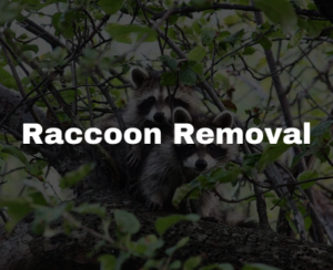 raccoon removal pros