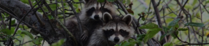 raccoon trapping professionals