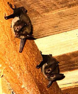 bat removal in raleigh north carolina