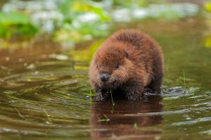 beaver removal in Raleigh NC
