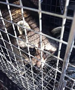raccoon trapping - southern wildlife