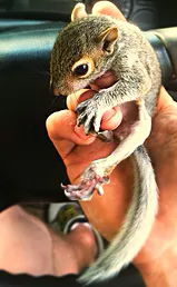 Squirrel removal company in NC
